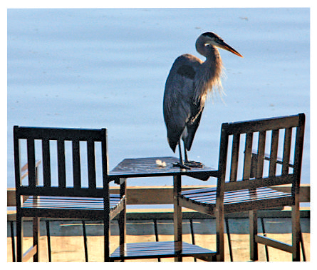 Heron on table